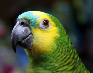 Blue-fronted_Amazon_(Amazona_aestiva)-head-8