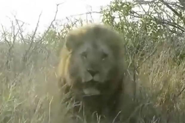 lion-630053