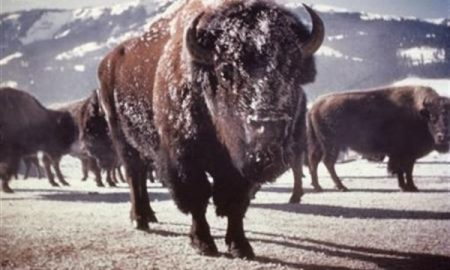officials-released-34-wild-bison-in-montana-indian-reserve