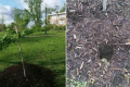 [PHOTOS] Mike Brown Memorial Tree Destroyed Within Days of Being Planted