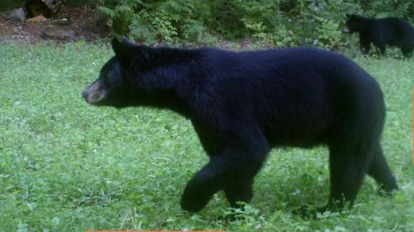 300 pound black bear in Northern Wisconsin