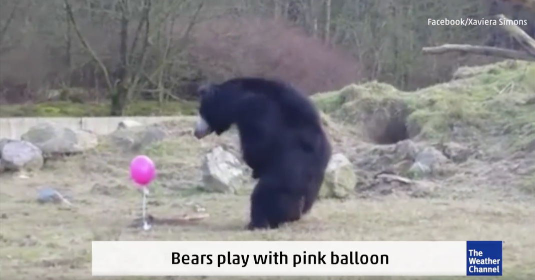 [WATCH] Bears Fascinated By Pink Balloon