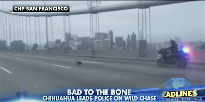 [WATCH] World's Fastest Chihuahua Eludes California Highway Patrol In Thrilling Chase