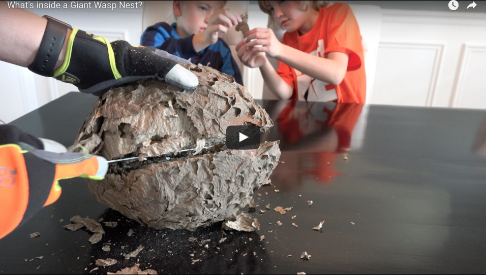 [WATCH] What's Inside A Giant Wasp Nest?