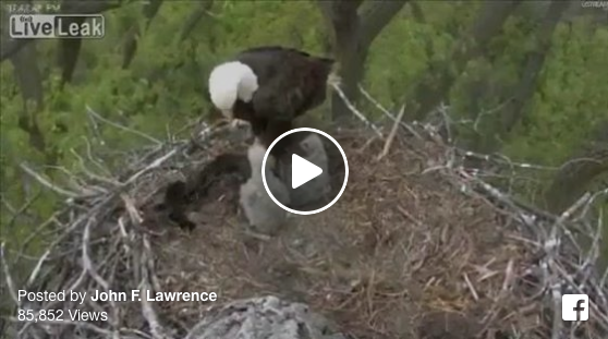 VIDEO Shows Bald Eagles Feeding Their Young A Common Household Pet: Some Are Happy, Some Outraged!