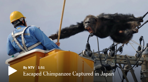 [WATCH] Chacha the Chimp Escapes The Zoo, Climbs A Pole, Then Falls Into A Crazy Ride