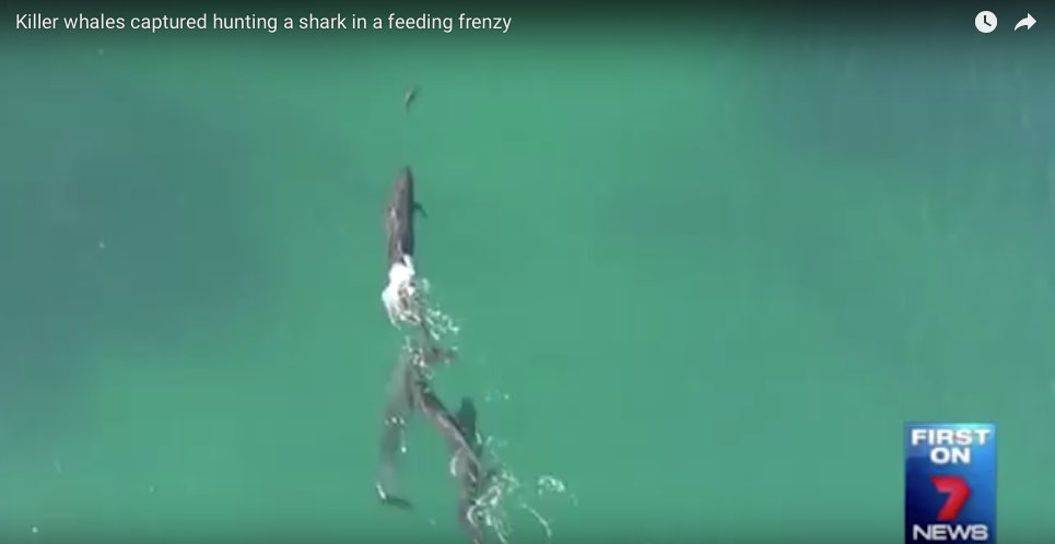 [WATCH] Drone Footage Captures An Encounter Between Killer Whales And Shark, Who Wins?