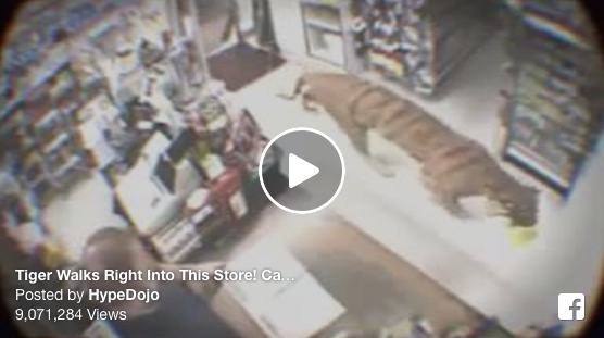 [WATCH] Tiger Walks Right Into This Store, Caught On Surveillance Cameras, People Flip Out!
