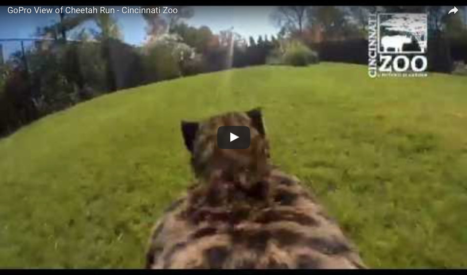 WATCH A Cheetah Sprint From 0 To 60 MPH With A GoPro On Its Back!