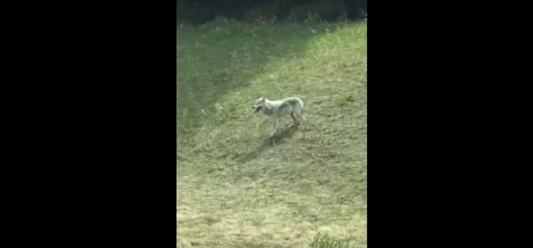 [WATCH] Motorist Captures Video Of 'Lone Wolf -Vs- Big Horn Sheep'