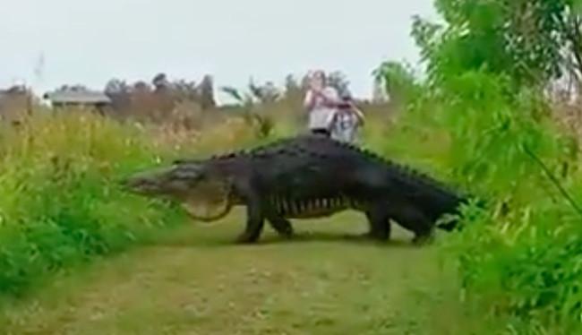 enormous-alligator-florida-lakeland-wtf-1